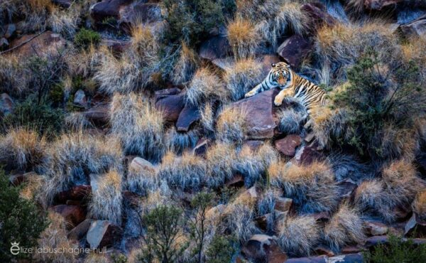 Overview of tiger sleeping on the rocks at Tiger Canyon Private Game Reserve