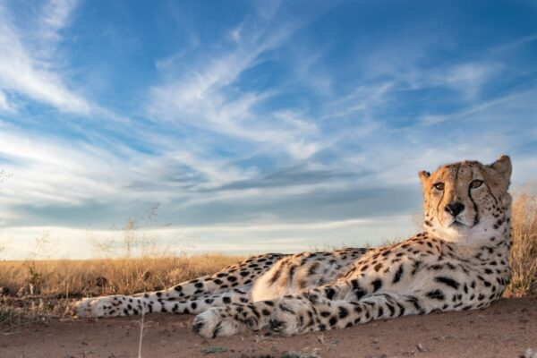 Cheetah lying in front of a blue Karoo sky at Tiger Canyon Private Game Reserve