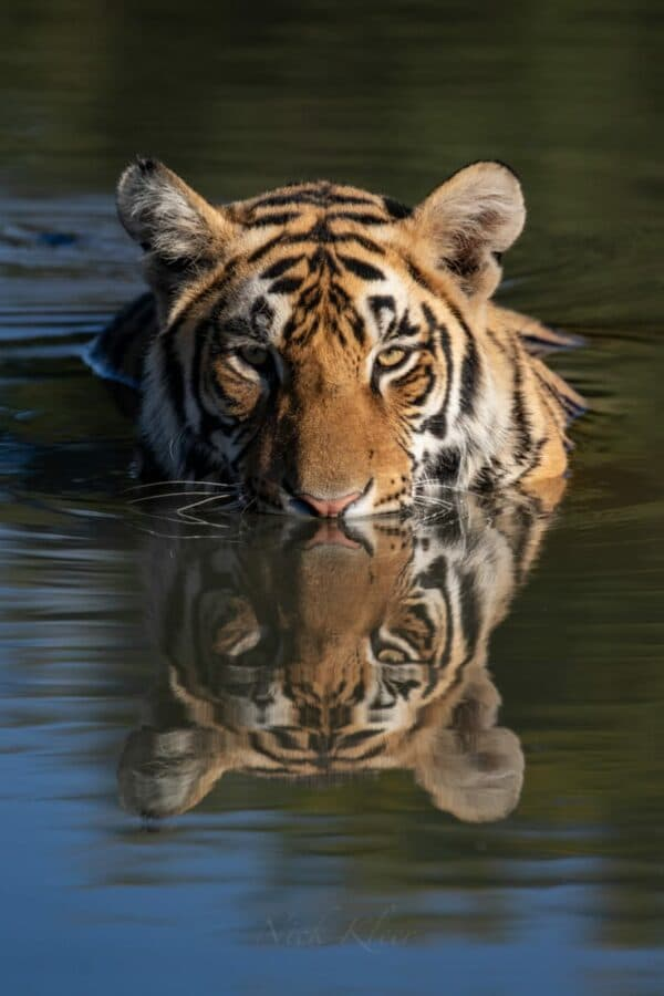 Tiger in the water at Tiger Canyon Private Game Reserve
