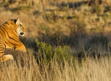Tiger crouched on a rock in the bushveld at Tiger Canyon Private Game Reserve