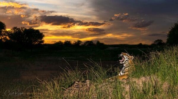 Tiger yawning against a dark sunset at Tiger Canyon Private Game Reserve