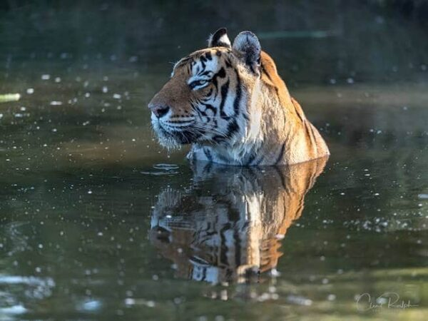 Tiger in water at Tiger Canyon Private Game Reserve