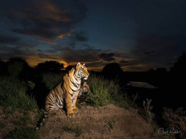 Two tigers sitting in the bushveld against a dark night sky at Tiger Canyon Private Game Reserve