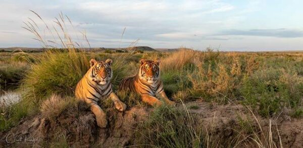 Two tigers lying in the grass at Tiger Canyon Private Game Reserve