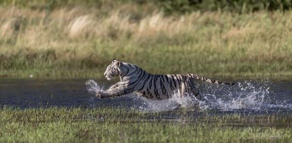 White tiger sprinting through the water at Tiger Canyon Private Game Reserve