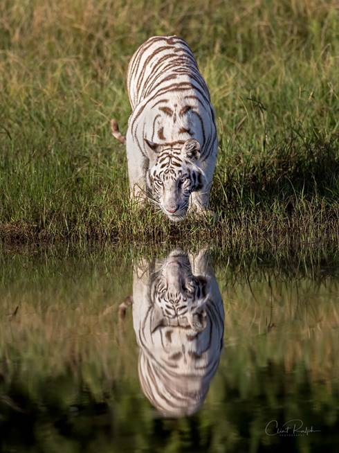 White tiger drinking from a pond with its reflection in the water at Tiger Canyon Private Game Reserve