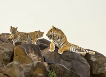 Tigress and cubs on the rocks at Tiger Canyon Private Game Reserve