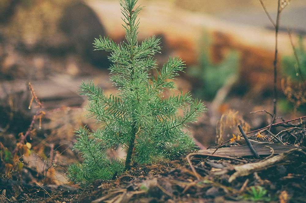 Reforestation Douglas Fir Seedling