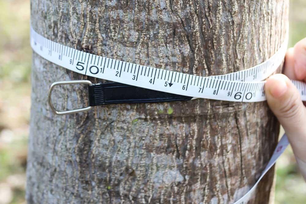Measuring Tree Trunk