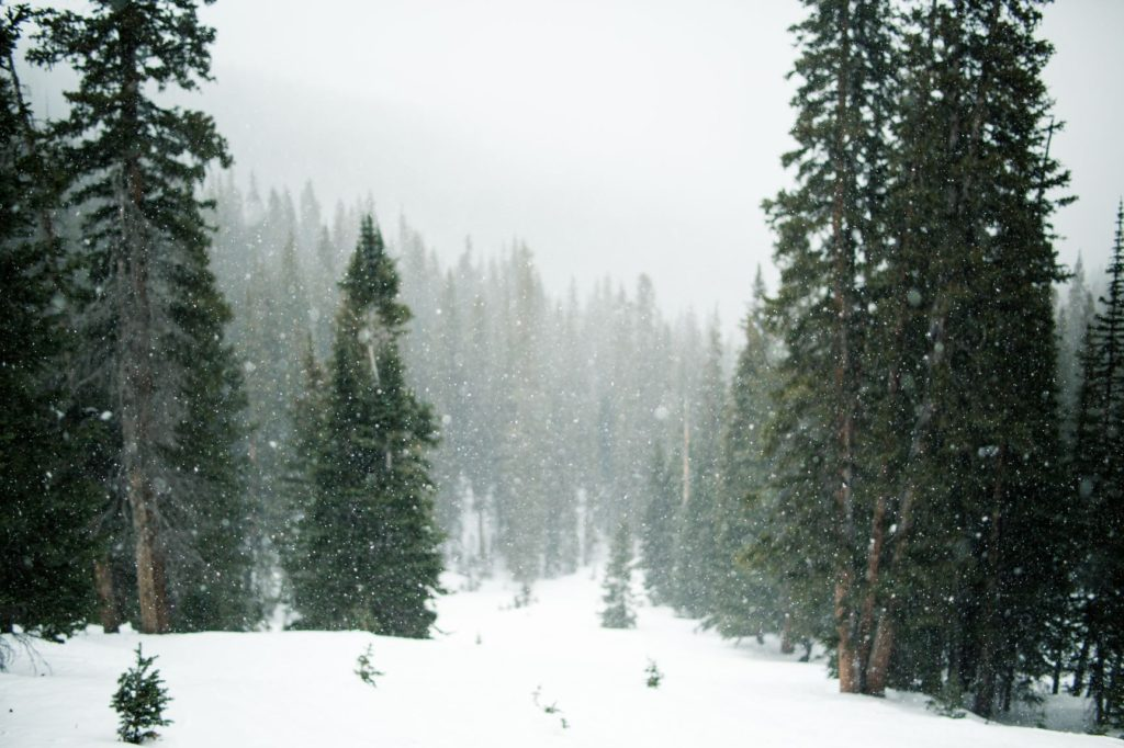 Snowy forest with tall green trees