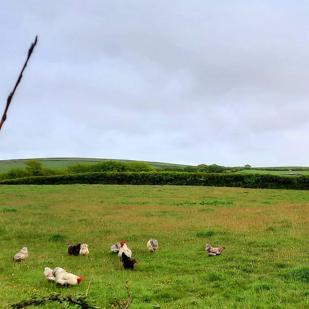 Pekin's grazing the Barton Plantation