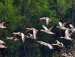 Greylag Geese at Ballavpur Wetland