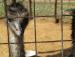 Emu at Joypur