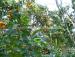Orange garden at Rangbang homestay