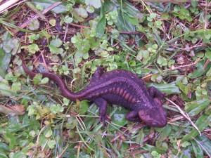 Salamander in Latpanchor
