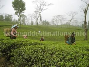 Tea Garden near Takdah
