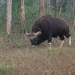 Bison at Betla Forest