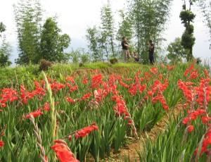 Gladiolas Farm, Sumbuk