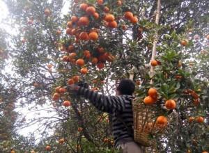 Sitong orange picking