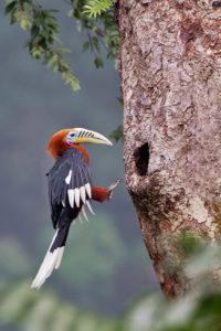 Hornbill near Galeythar