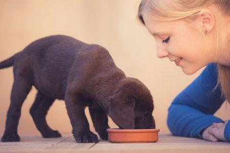 Brown labrador puppy eating