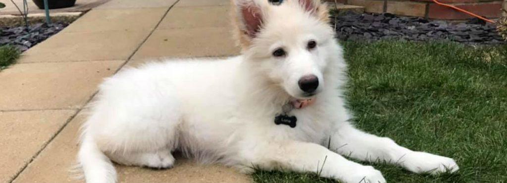Luna the White German Shepherd
