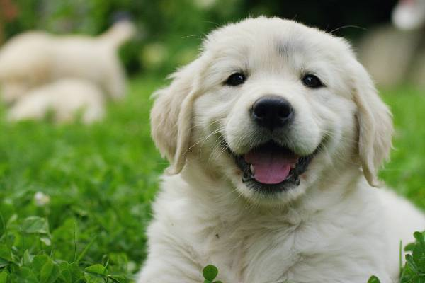 Buying a puppy from a breeder
