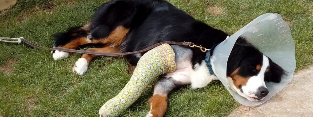 Button the Bernese: living with elbow dysplasia