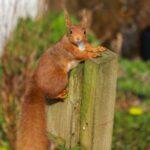 Squirrel (squirrel011) by HM -  blank