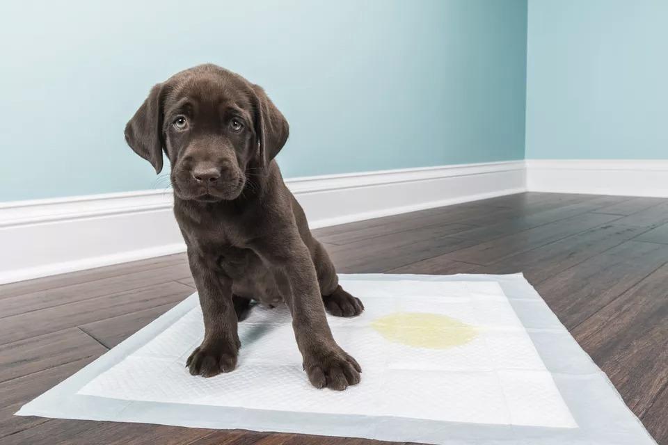 yavru köpek tuvalet eğitimi, Yavru köpek tuvalet eğitimi Nasıl Verilir, 7 aylık köpek tuvalet eğitimi, Yetişkin köpek tuvalet eğitimi nasıl verilir, Yavru köpeklerde tuvalet eğitimi ne zaman Başlar, Yavru köpek dışarı tuvalet eğitimi, Köpek tuvalet eğitimi sirke, Yavru köpek Tuvalet Eğitimi video, Köpeğe tuvalet eğitimi veremiyorum