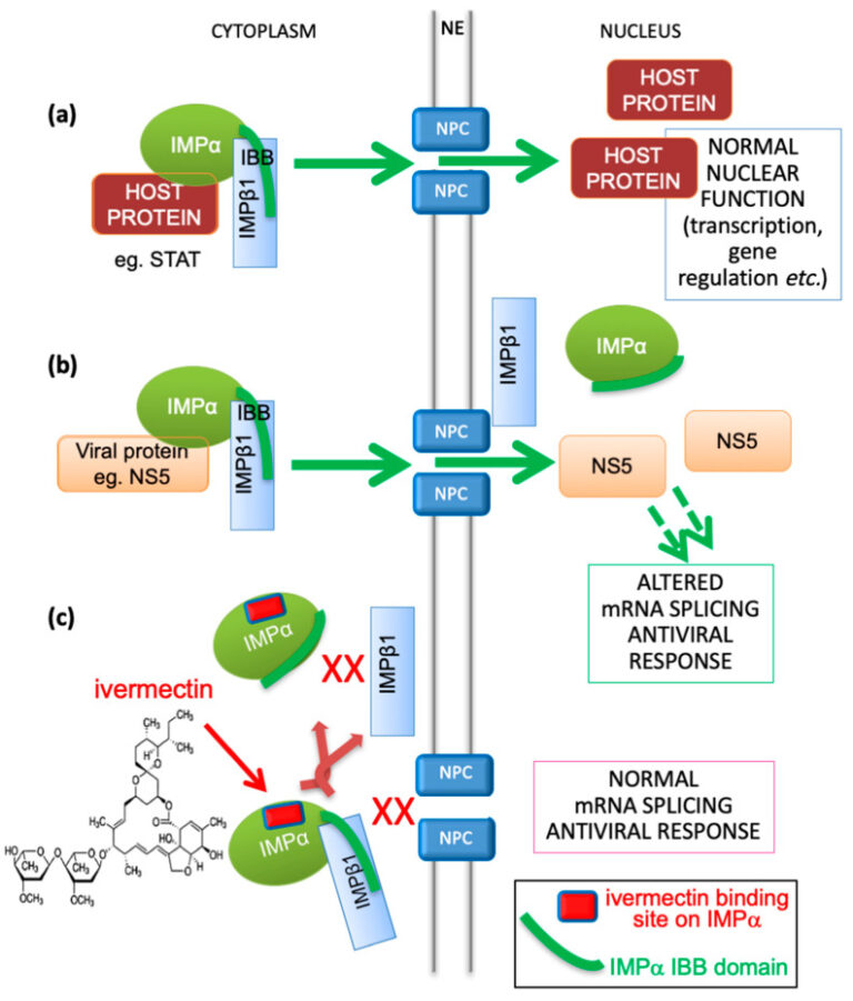 Importin protein + ivermectin antiviral physiology