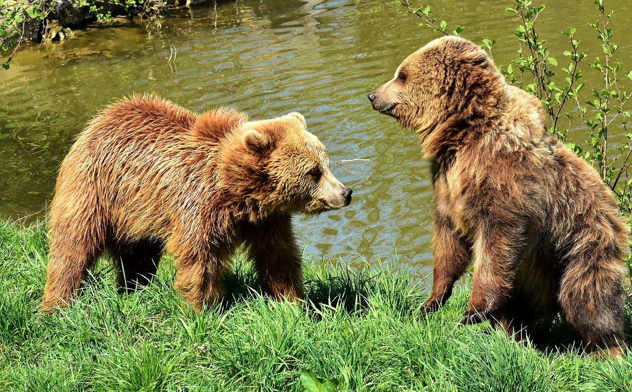 european brown bear, play, together
