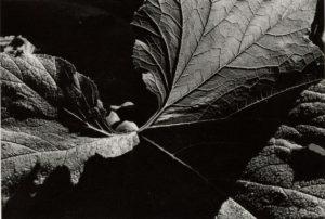 Steven Donahue, Rhubarb Leaves
