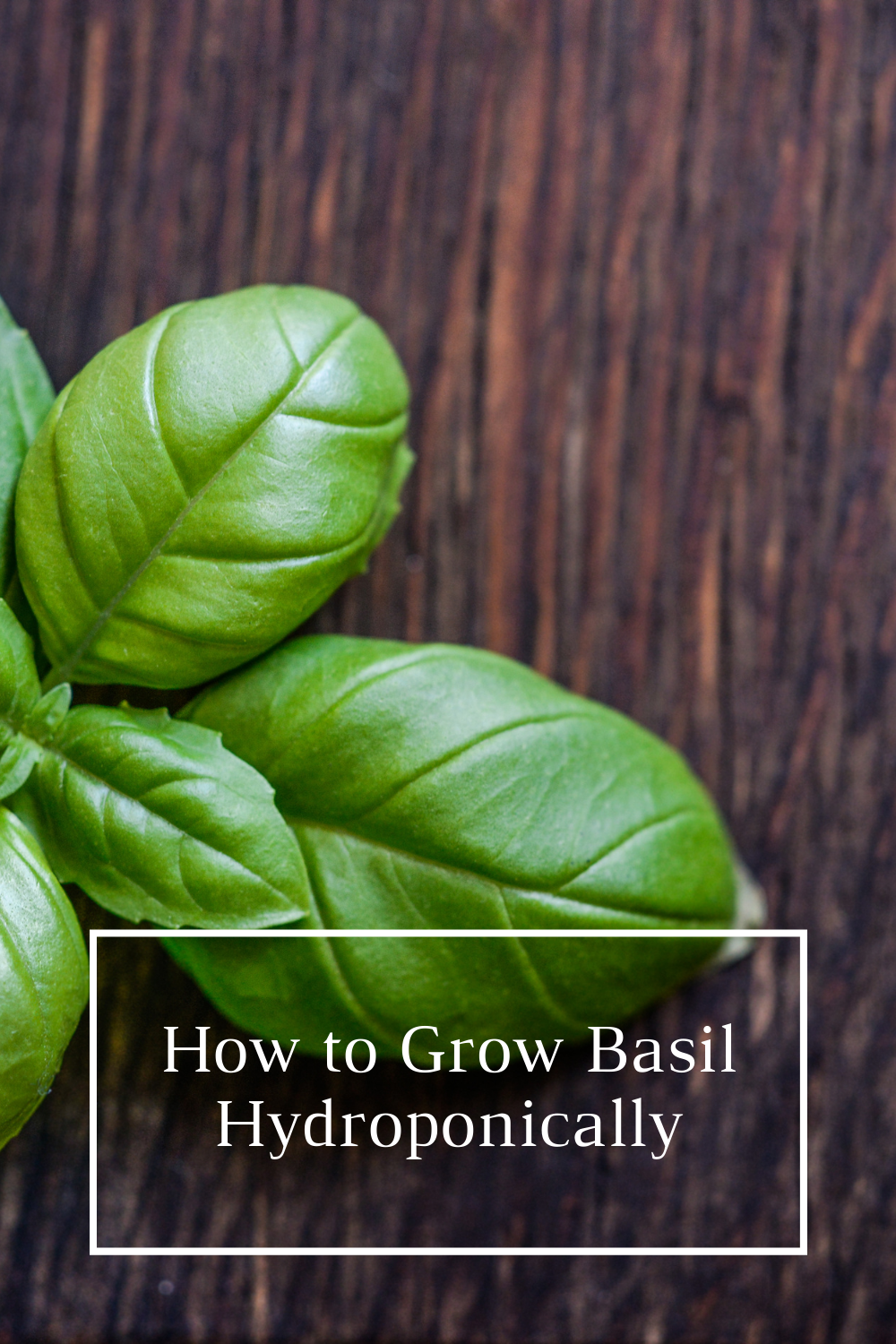 How to Grow Basil Hydroponically – A Beginner's Guide