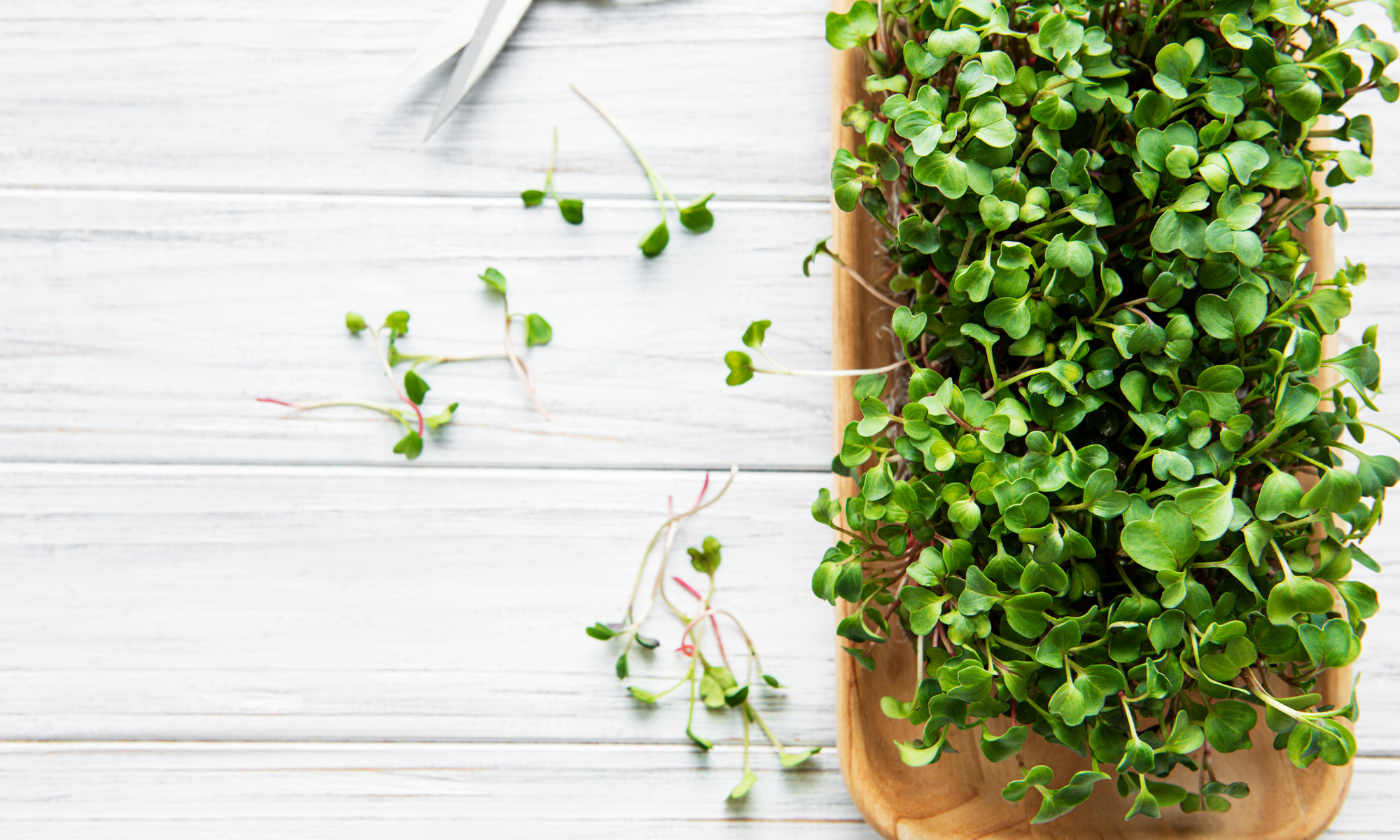 Growing and Harvesting Microgreens at Home
