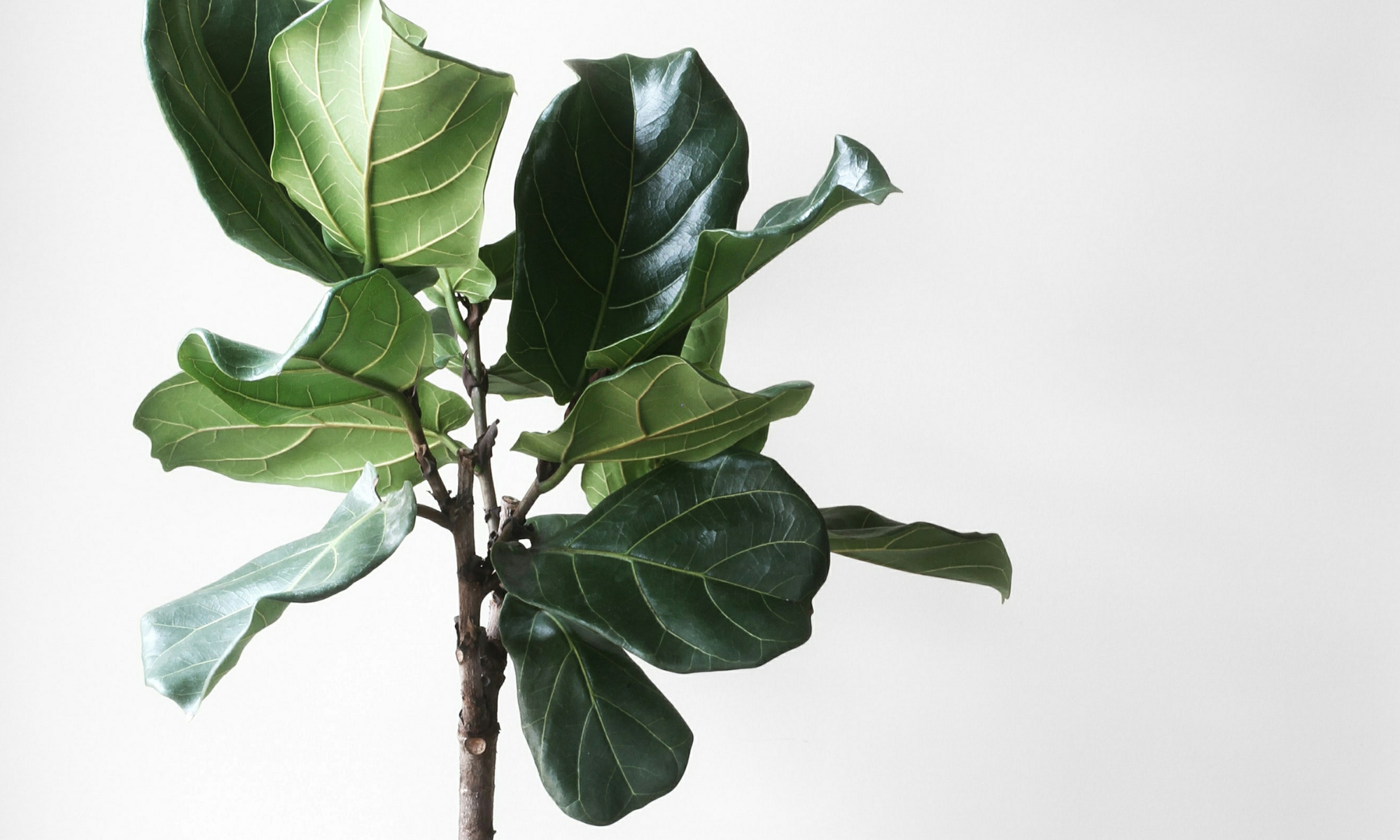 Faux Fiddle Leaf Fig Trees: A Complete Buyer's Guide