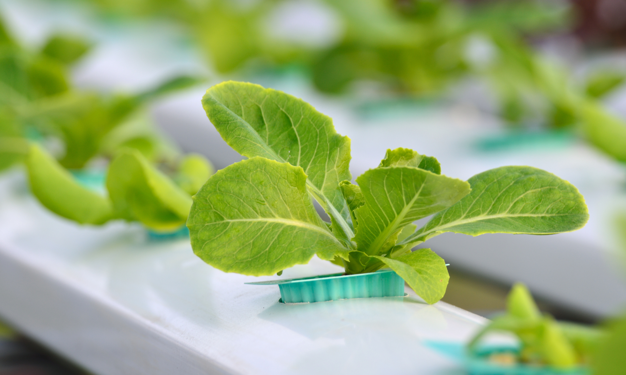 What Do You Feed Hydroponic Plants?