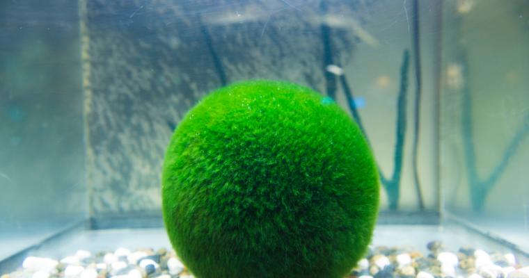 How to Create a Marimo Moss Ball Terrarium