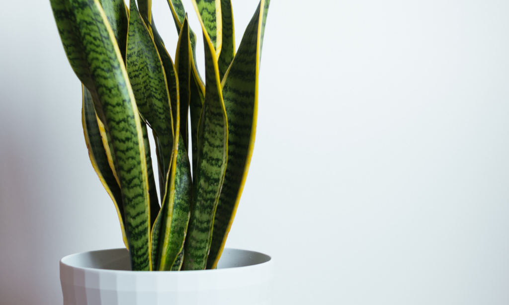 This image has an empty alt attribute; its file name is snake-plant-1024x614.png