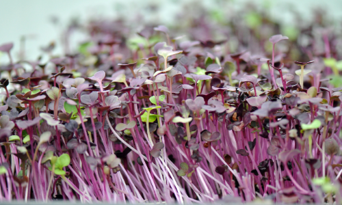 The Best Microgreens Growing Kit for Beginners