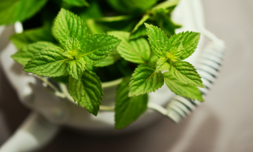 The Ultimate Guide to Propagating Mint