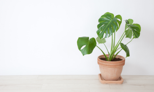 How to Propagate Monstera Plants