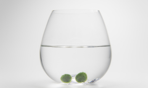 How to Care for a Marimo Moss Ball
