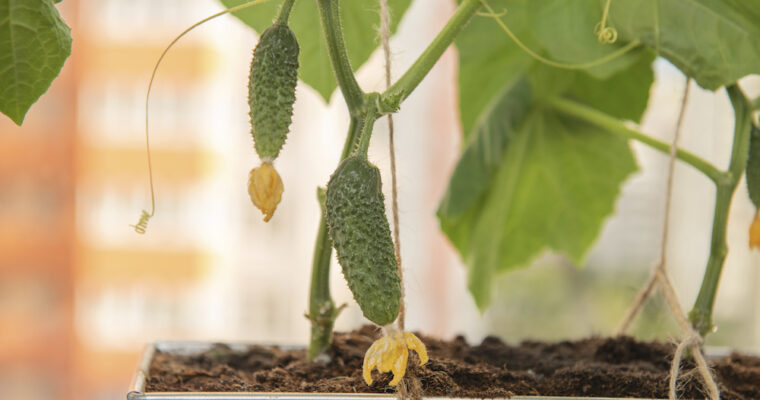 How To Grow Cucumbers in a Container Garden: An Easy Step-by-Step Guide