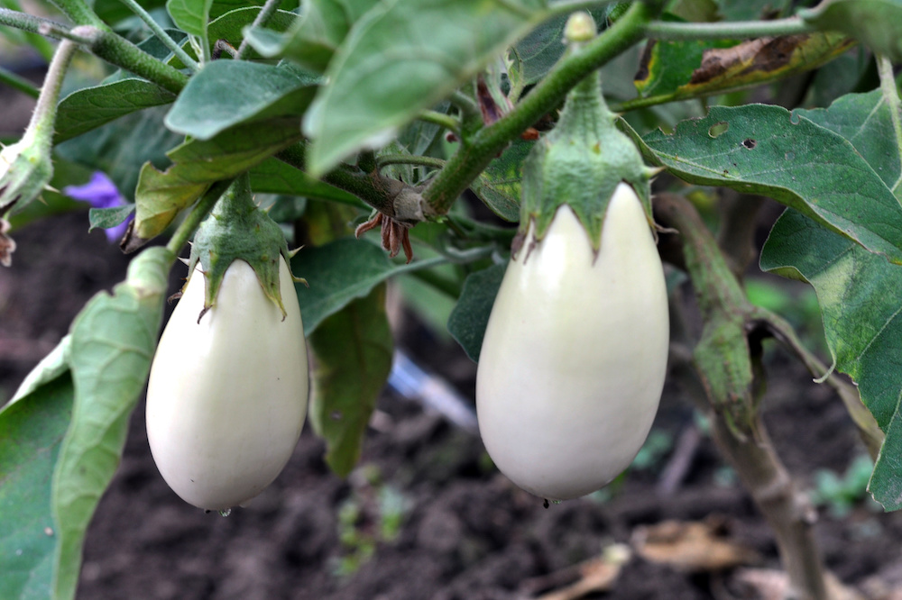 what is the best eggplant for container gardening