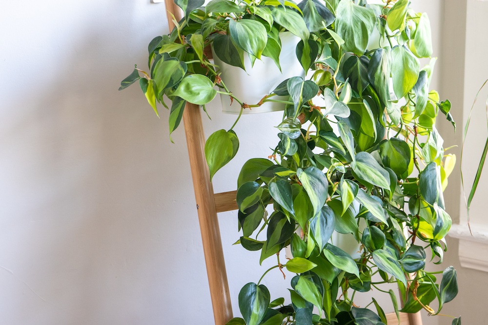 trailing plants for container gardens
