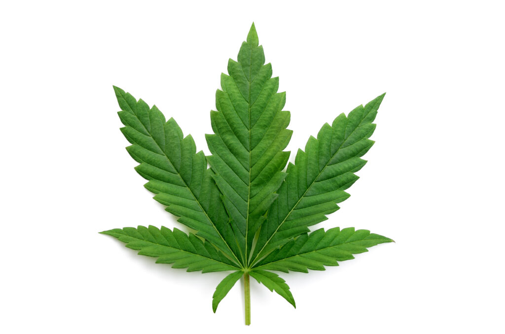 Green,Cannabis,Leaves,Isolated,On,White,Background.,Growing,Medical,Marijuana.