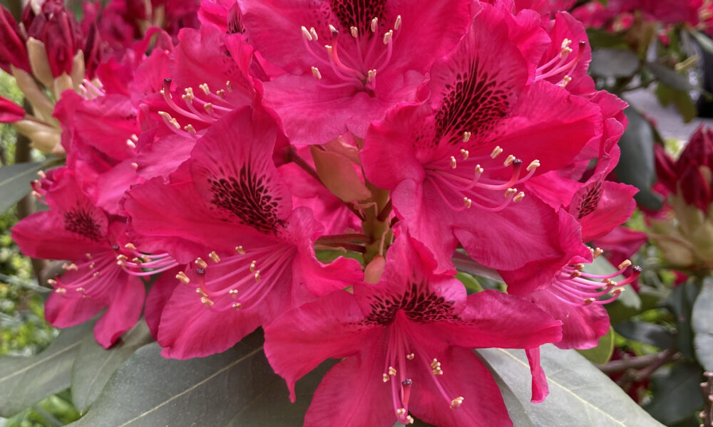 Pink Rhododendron with green leaves