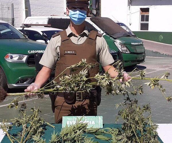 Una persona fue detenida por cultivo ilegal de droga en Santo Domingo