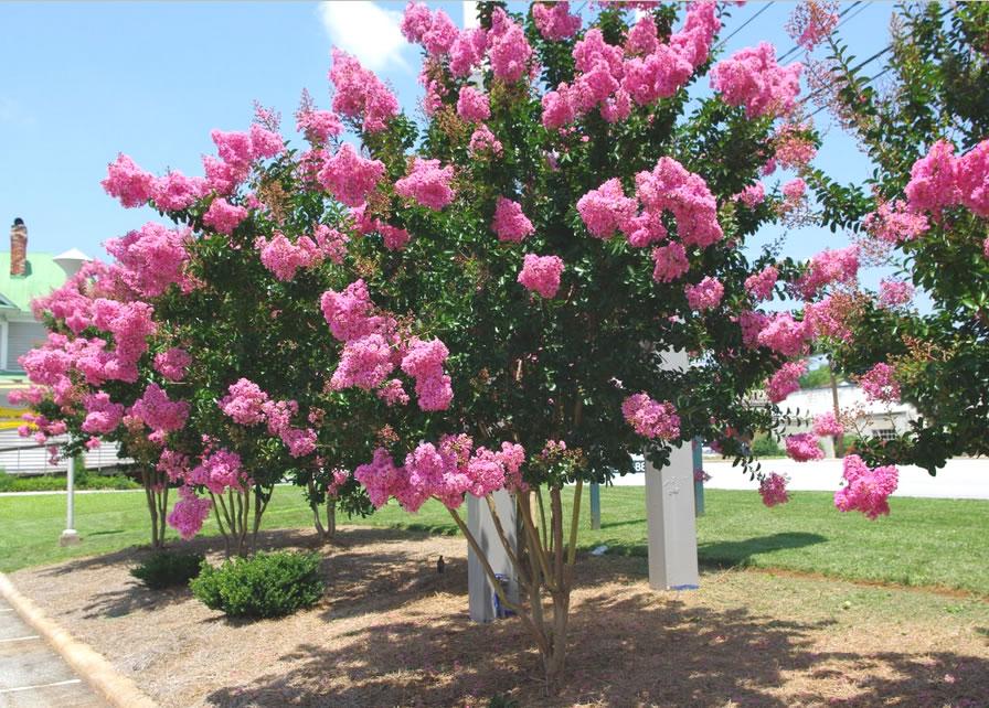 flowering crape myrtle